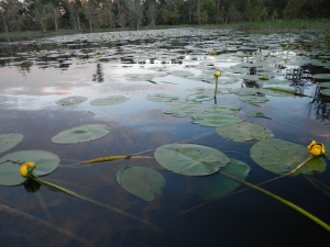 The Lily Pad cover in the Ausable marsh.