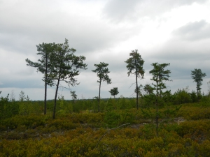 The sparse vegetation in the Jack Pine forest